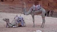 For all Jigidi fans: Colorful camels are often used to travel down to and then back fom Petra, Jordan