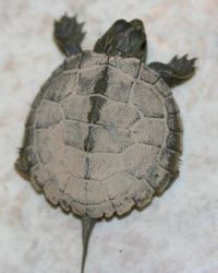 Common Map Turtle baby