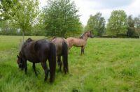 Sorraia horses.