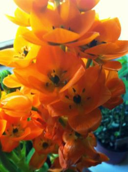 "Orange ""Star"" Flowers"