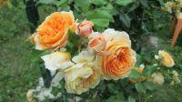 růže Princezna Margareta