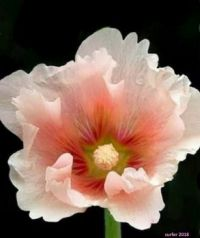 Delicate Beauty of a Hollyhock