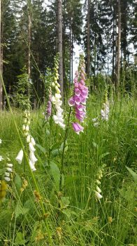 foxgloves in the forrest