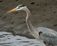 Great Blue Heron, Lagoon Trail, Del Mar, California
