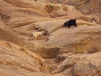 Little Petra in Jordan - Goats