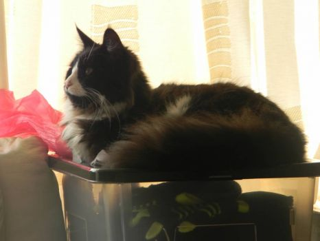 My beloved Maine Coon cat Dexter, curled up by the living room window