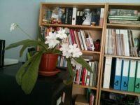 Streptocarpus in the study.