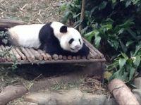 Kai Kai - Singapore Zoo