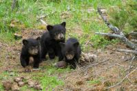Triplets Black Bears Yellowstone - Rick Larson