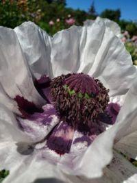 Purple Painted Poppy