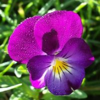 Dew Kissed Pansy