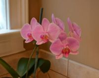My orchid in full bloom.