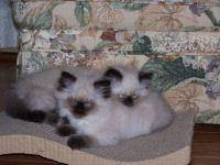 Persian Kitten Sisters