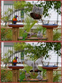 Incoming Crested Pigeon...