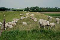 schapen bij Waarde
