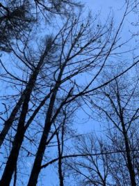 Charred Trees Reach for the Sky