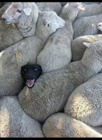 Sheepdog among Sheep - Google