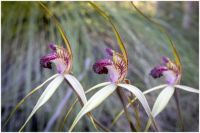 Spider Orchid Triplets