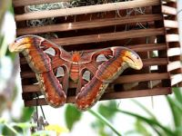 IMG_8063Atlas Moth