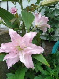 Rose Lily