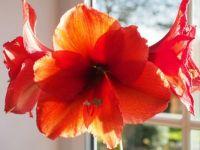 Amaryllis in bloom mid Dec.