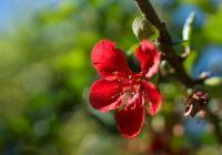 Granatapfelbaum einzelne Blüte
