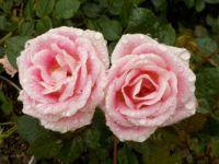 Mini Rose 'Whimsey' in the rain
