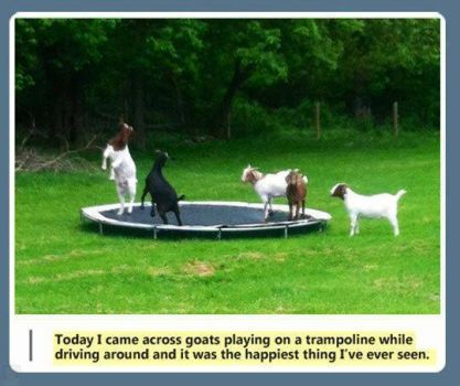 Cool goats on trampoline