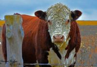 Hereford  cow,,,,  I see you taking my picture..