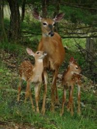 Mama and Her Two Sweet Fawns
