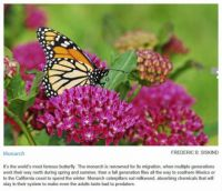 Butterflies worth knowing 2, Monarch
