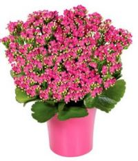 Pink Kalanchoe plant for Irmachac