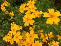 Tangerine Gem Marigold.