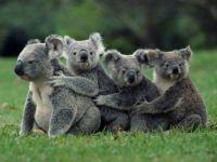 Koala Conga Line