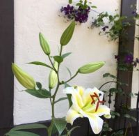 White Lilies with Purple Clematis background.