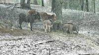 donkeys in snow