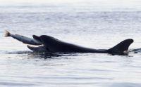 salmon-dolphin