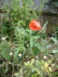 Garden - Plants - Papaver Rhoeas - Wild Field Poppy