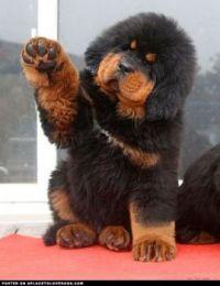 huge puppy