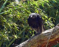 BLACK VULTURE AND BAMBOO