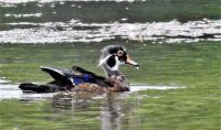 young, male wood duck
