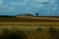 Lone tree near Lismore