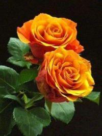 Růže královna