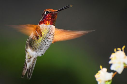 Ruby throated Hummer catches an insect... Louisianna