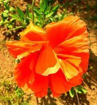 Neighbours' orange poppy