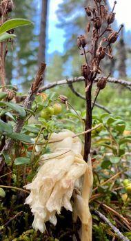 The parasitic plant pinesap
