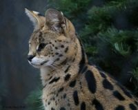 Serval at Orange County Zoo, CA