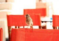 Chorio sparrow - Symi