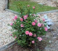 Miniture Roses