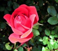 Sunlight on Rosebud